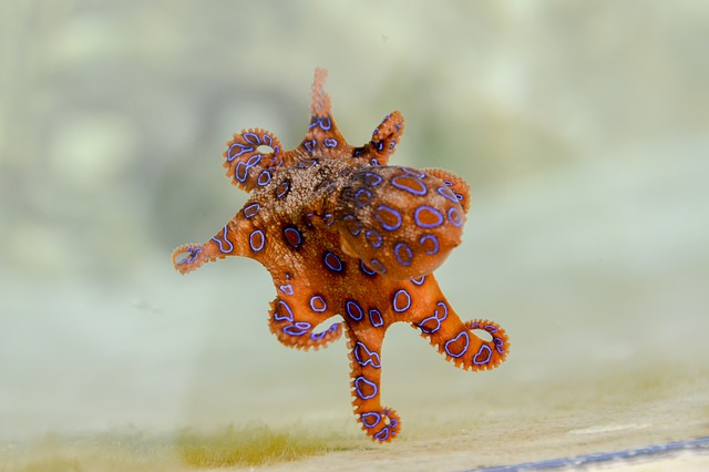 blue-ringed-octopus-2414408_640