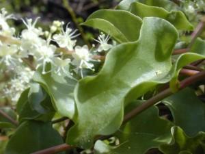 Anredera_Cordifolia