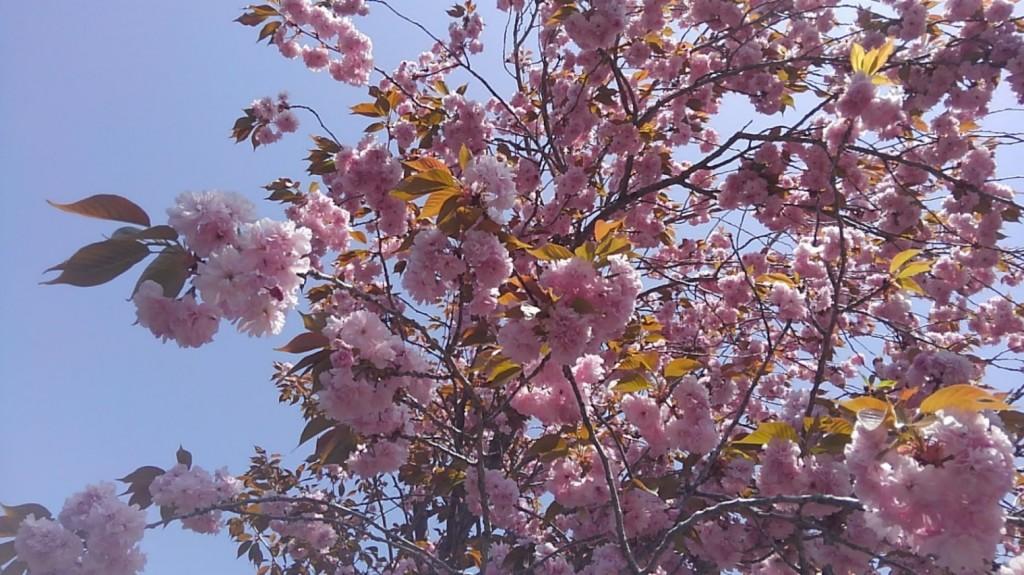 忍野八海 桜