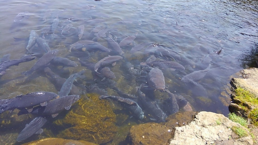 忍野八海 資料館 池 鯉